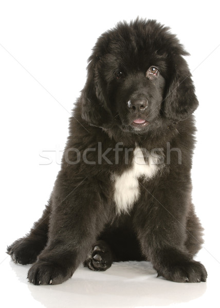 newfoundland puppy twelve weeks old with reflection on white background Stock photo © willeecole