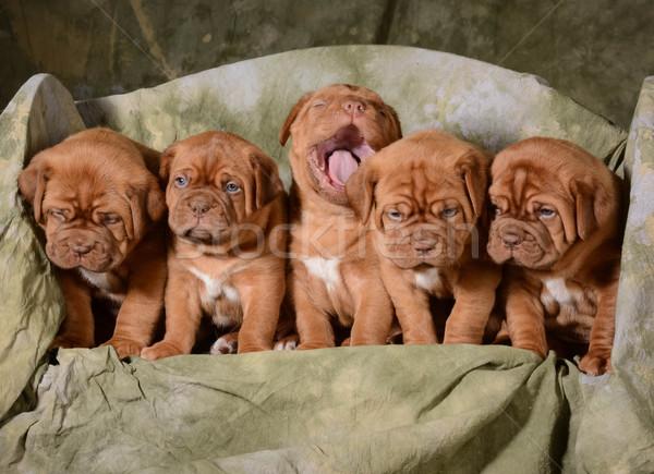 Cachorros nina bebé perro azul Foto stock © willeecole