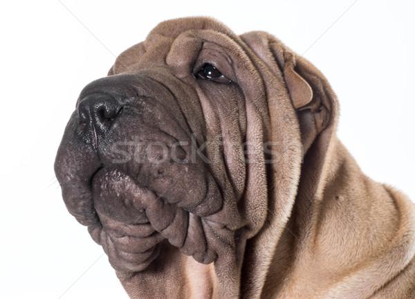 chinese shar pei portrait Stock photo © willeecole