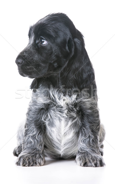 worried puppy Stock photo © willeecole