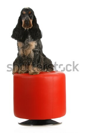 two dogs playing Stock photo © willeecole