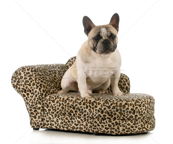 dog on couch Stock photo © willeecole