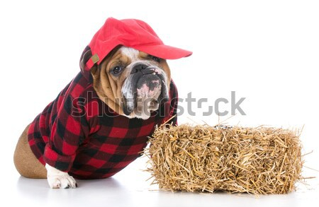 dog dressed up like a cowgirl Stock photo © willeecole