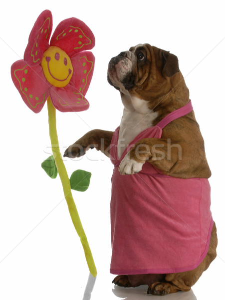 english bulldog female stopping to smell the flowers Stock photo © willeecole