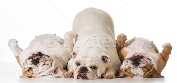 Drei Hunde Englisch isoliert weiß Hund Stock foto © willeecole