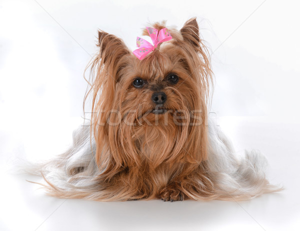 female yorkshire terrier  Stock photo © willeecole