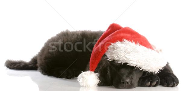 Nowa fundlandia szczeniak Święty mikołaj hat dwanaście Zdjęcia stock © willeecole