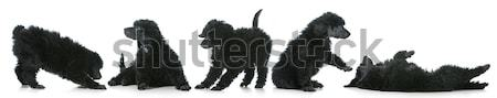 playful puppies  Stock photo © willeecole