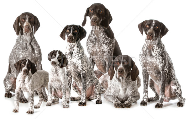 german shorthaired pointers Stock photo © willeecole