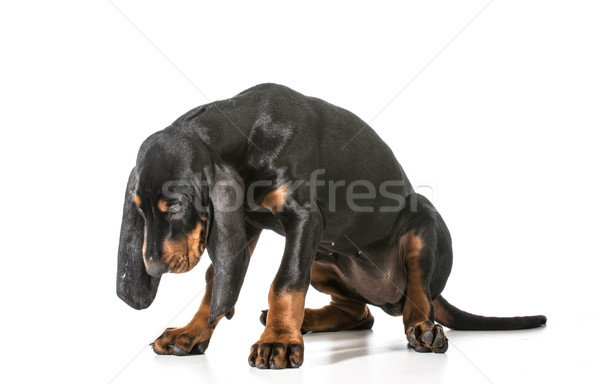 naughty puppy Stock photo © willeecole