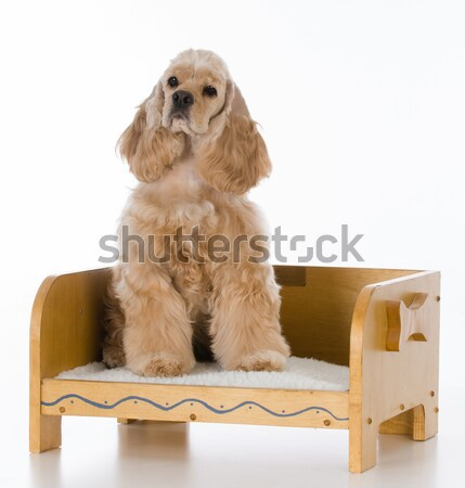 dog laying on a couch Stock photo © willeecole