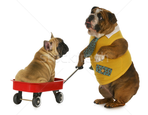 dog pulling a wagon Stock photo © willeecole
