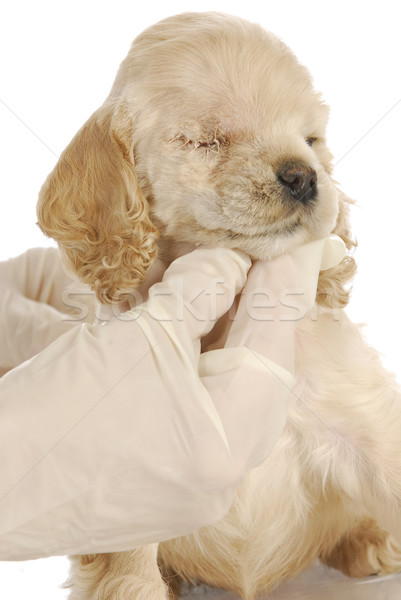 puppy with eye surgery Stock photo © willeecole