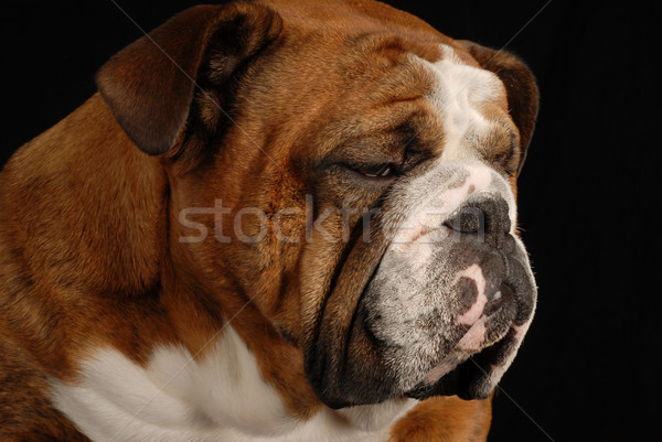 red brindle english bulldog with sad looking expression on black background Stock photo © willeecole