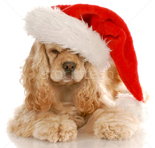 american cocker spaniel laying down wearing santa hat with reflection on white background Stock photo © willeecole