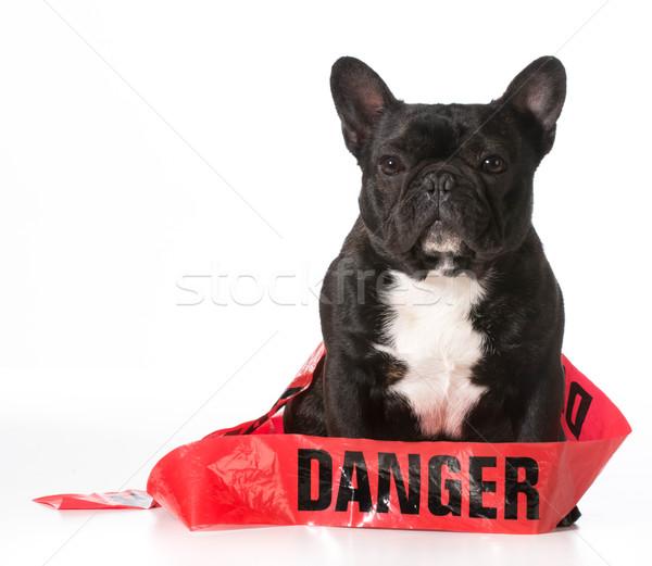 Huncut kutya francia bulldog veszély szalag Stock fotó © willeecole