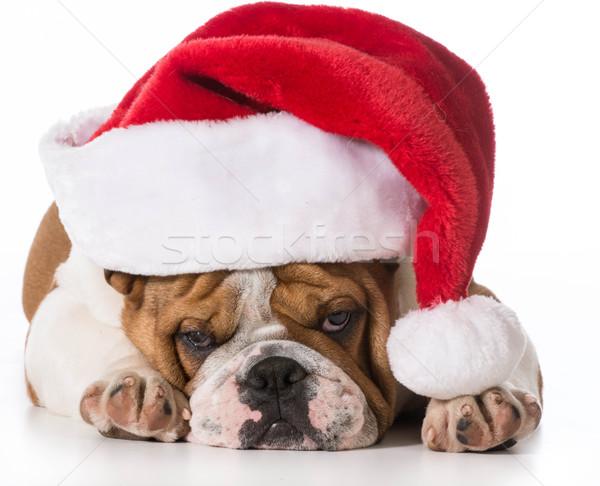 santa dog Stock photo © willeecole