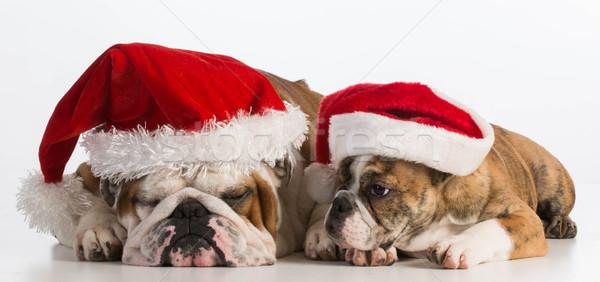 Natale cani english bulldog bianco Foto d'archivio © willeecole