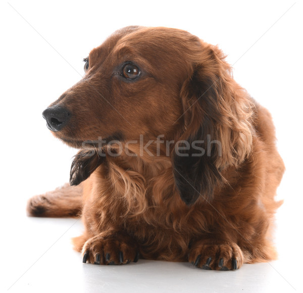 miniature dachshund laying down Stock photo © willeecole