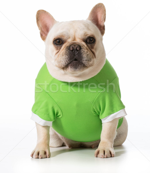 Stock photo: french bulldog