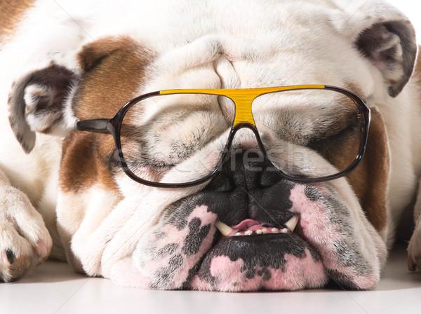 dog wearing glasses Stock photo © willeecole