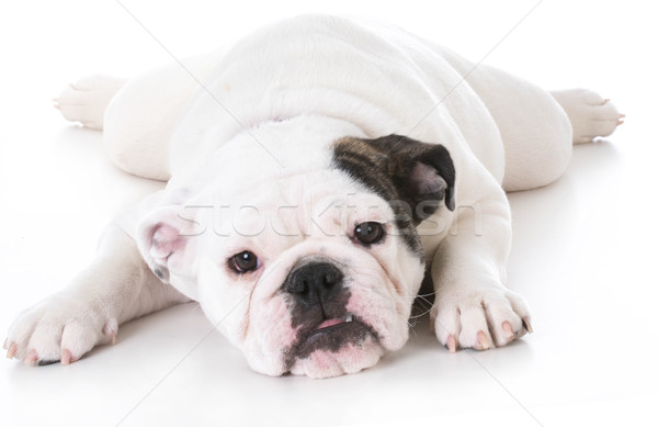 bulldog puppy laying down Stock photo © willeecole