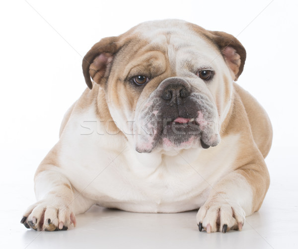 dog looking at viewer Stock photo © willeecole