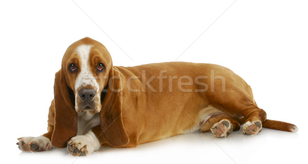 гончая глядя собака студию ПЭТ Сток-фото © willeecole