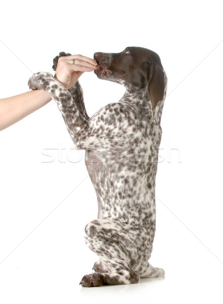 puppy begging Stock photo © willeecole