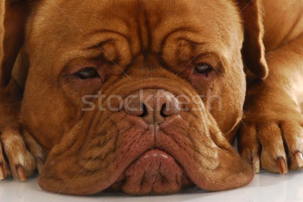 ボルドー 細部 顔 犬 白 ストックフォト © willeecole