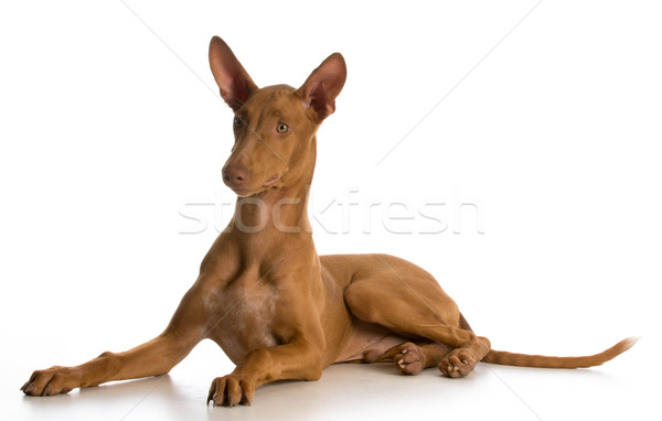 pharaoh hound puppy Stock photo © willeecole