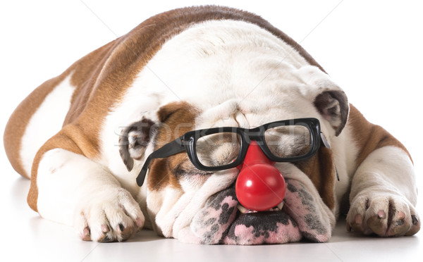 silly dog Stock photo © willeecole