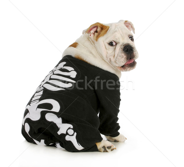 Hond skelet Engels bulldog kostuum Stockfoto © willeecole