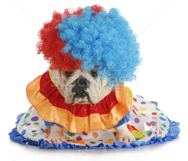 Stupido cane english bulldog up come Foto d'archivio © willeecole