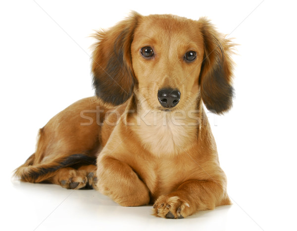 miniature dachshund Stock photo © willeecole