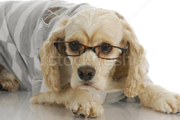 Stock fotó: Aranyos · kutya · visel · szemüveg · okos · amerikai