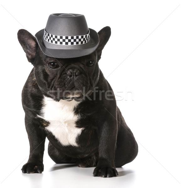 ストックフォト: かわいい · フランス語 · ブルドッグ · 着用 · フェドーラ · 帽子