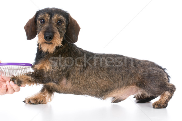 dog getting brushed Stock photo © willeecole