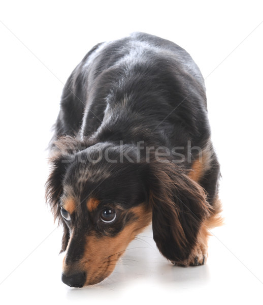 miniature dachshund sniffing the ground Stock photo © willeecole