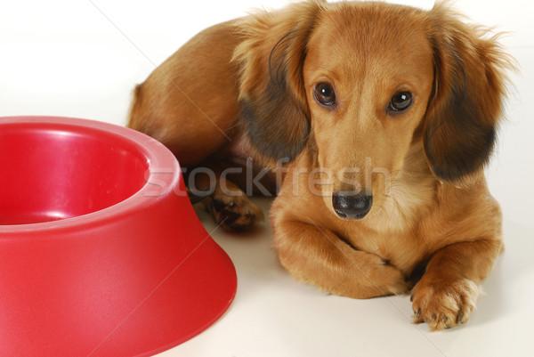 Kutya vár hosszú hajú tacskó fektet vmi mellett Stock fotó © willeecole