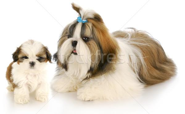 Anya kutyakölyök fehér kutya stúdió íj Stock fotó © willeecole