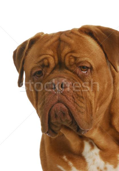 Bordeau fej portré fehér szemek piros Stock fotó © willeecole