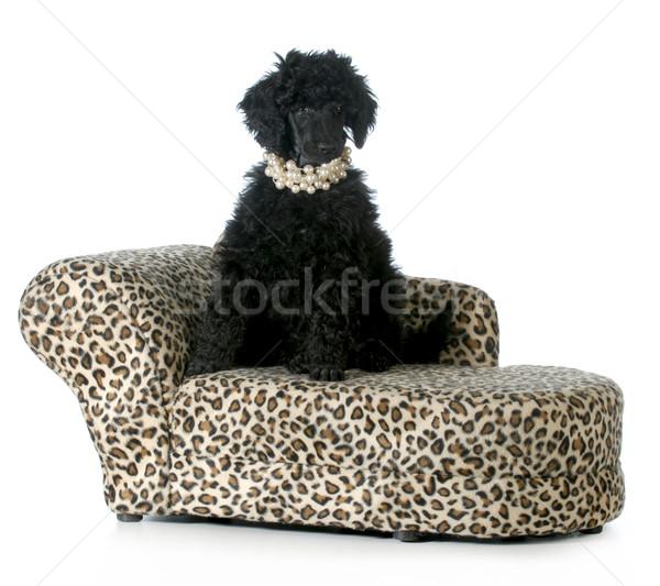 Femminile barboncino cucciolo seduta cane divano Foto d'archivio © willeecole