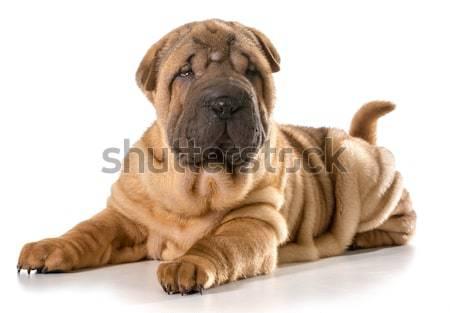 chinese shar pei puppy Stock photo © willeecole
