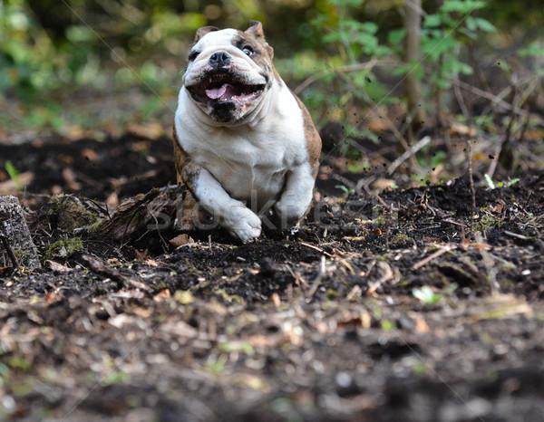 english bulldog puppy Stock photo © willeecole
