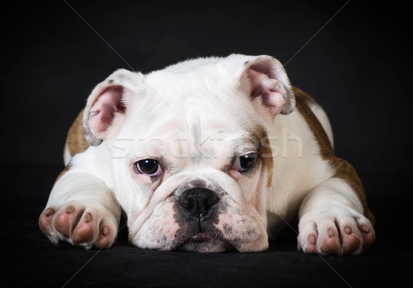 english bulldog puppy resting Stock photo © willeecole