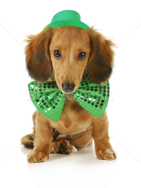 St. Patricks Day dog Stock photo © willeecole