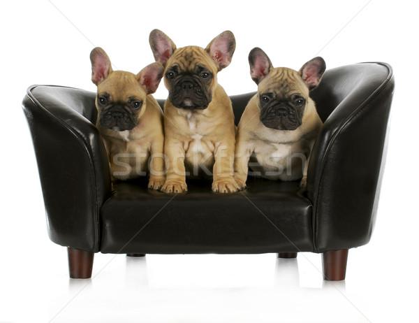 french bulldog litter Stock photo © willeecole