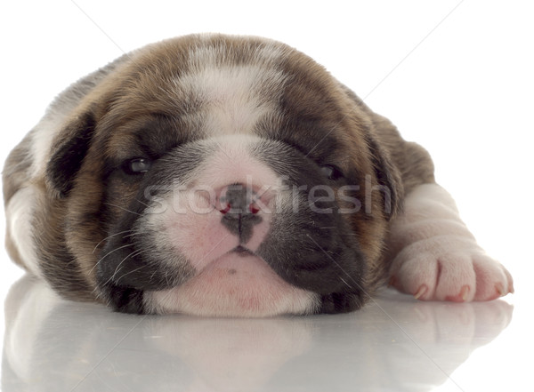 Stock photo: three week old brindle and white english bulldog puppy