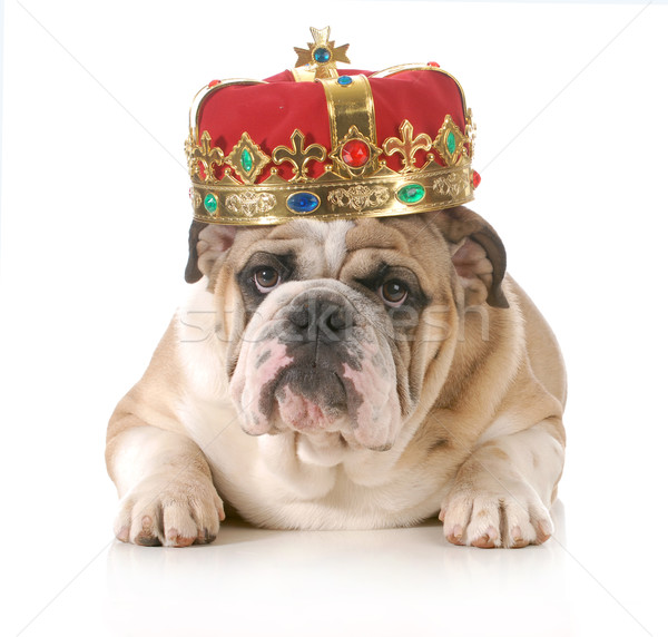 собака корона английский бульдог Сток-фото © willeecole